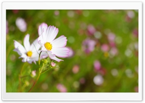 White Cosmos Flower With Pink Edges HD Wide Wallpaper for Widescreen