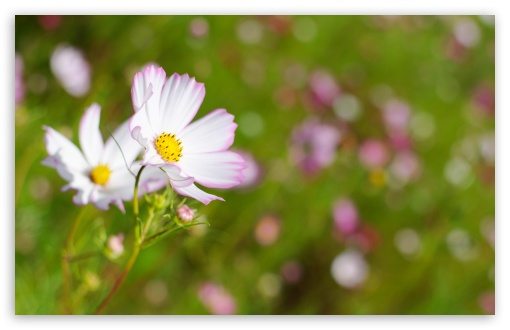 White Cosmos Flower With Pink Edges HD wallpaper for Wide 16:10 5:3 Widescreen WHXGA WQXGA WUXGA WXGA WGA ; HD 16:9 High Definition WQHD QWXGA 1080p 900p 720p QHD nHD ; UHD 16:9 WQHD QWXGA 1080p 900p 720p QHD nHD ; Standard 4:3 5:4 3:2 Fullscreen UXGA XGA SVGA QSXGA SXGA DVGA HVGA HQVGA devices ( Apple PowerBook G4 iPhone 4 3G 3GS iPod Touch ) ; Tablet 1:1 ; iPad 1/2/Mini ; Mobile 4:3 5:3 3:2 16:9 5:4 - UXGA XGA SVGA WGA DVGA HVGA HQVGA devices ( Apple PowerBook G4 iPhone 4 3G 3GS iPod Touch ) WQHD QWXGA 1080p 900p 720p QHD nHD QSXGA SXGA ; Dual 4:3 5:4 UXGA XGA SVGA QSXGA SXGA ;