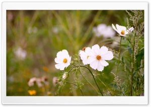 White Cosmos Flowers HD Wide Wallpaper for Widescreen