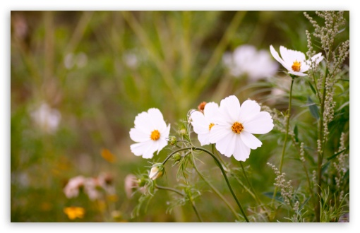 White Cosmos Flowers HD wallpaper for Wide 16:10 5:3 Widescreen WHXGA WQXGA WUXGA WXGA WGA ; HD 16:9 High Definition WQHD QWXGA 1080p 900p 720p QHD nHD ; UHD 16:9 WQHD QWXGA 1080p 900p 720p QHD nHD ; Standard 4:3 5:4 3:2 Fullscreen UXGA XGA SVGA QSXGA SXGA DVGA HVGA HQVGA devices ( Apple PowerBook G4 iPhone 4 3G 3GS iPod Touch ) ; Tablet 1:1 ; iPad 1/2/Mini ; Mobile 4:3 5:3 3:2 16:9 5:4 - UXGA XGA SVGA WGA DVGA HVGA HQVGA devices ( Apple PowerBook G4 iPhone 4 3G 3GS iPod Touch ) WQHD QWXGA 1080p 900p 720p QHD nHD QSXGA SXGA ; Dual 16:10 5:3 16:9 4:3 5:4 WHXGA WQXGA WUXGA WXGA WGA WQHD QWXGA 1080p 900p 720p QHD nHD UXGA XGA SVGA QSXGA SXGA ;