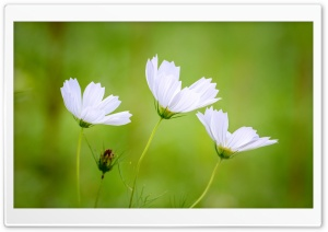 White Cosmos Flowers, Green Blurry Background HD Wide Wallpaper for 4K UHD Widescreen desktop & smartphone