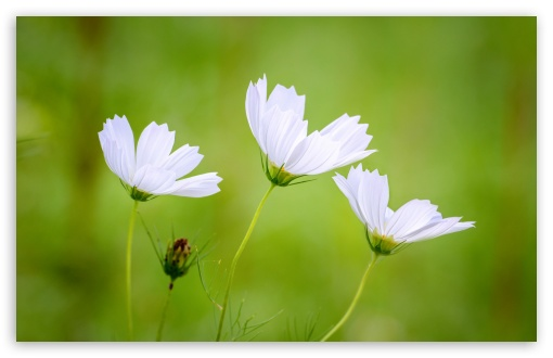 White Cosmos Flowers Green Blurry Background 4k Hd Desktop