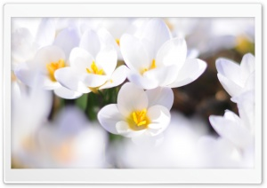 White Crocus HD Wide Wallpaper for Widescreen
