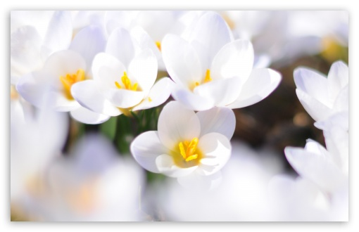 White Crocus ❤ 4K UHD Wallpaper for Wide 16:10 5:3 Widescreen WHXGA WQXGA WUXGA WXGA WGA ; 4K UHD 16:9 Ultra High Definition 2160p 1440p 1080p 900p 720p ; Standard 4:3 5:4 3:2 Fullscreen UXGA XGA SVGA QSXGA SXGA DVGA HVGA HQVGA ( Apple PowerBook G4 iPhone 4 3G 3GS iPod Touch ) ; Tablet 1:1 ; iPad 1/2/Mini ; Mobile 4:3 5:3 3:2 16:9 5:4 - UXGA XGA SVGA WGA DVGA HVGA HQVGA ( Apple PowerBook G4 iPhone 4 3G 3GS iPod Touch ) 2160p 1440p 1080p 900p 720p QSXGA SXGA ;