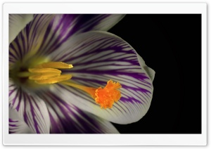 White Crocus Flower HD Wide Wallpaper for 4K UHD Widescreen desktop & smartphone