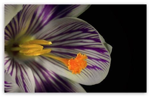 White Crocus Flower ❤ 4K UHD Wallpaper for Wide 16:10 5:3 Widescreen WHXGA WQXGA WUXGA WXGA WGA ; 4K UHD 16:9 Ultra High Definition 2160p 1440p 1080p 900p 720p ; UHD 16:9 2160p 1440p 1080p 900p 720p ; Standard 4:3 5:4 3:2 Fullscreen UXGA XGA SVGA QSXGA SXGA DVGA HVGA HQVGA ( Apple PowerBook G4 iPhone 4 3G 3GS iPod Touch ) ; Smartphone 5:3 WGA ; Tablet 1:1 ; iPad 1/2/Mini ; Mobile 4:3 5:3 3:2 16:9 5:4 - UXGA XGA SVGA WGA DVGA HVGA HQVGA ( Apple PowerBook G4 iPhone 4 3G 3GS iPod Touch ) 2160p 1440p 1080p 900p 720p QSXGA SXGA ;