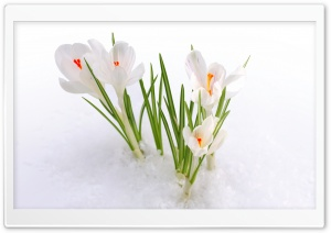 White Crocus in the Snow HD Wide Wallpaper for 4K UHD Widescreen desktop & smartphone
