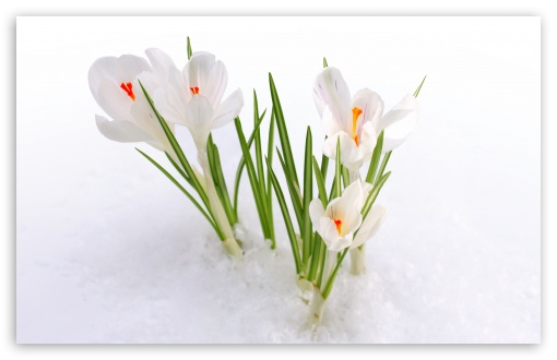 White Crocus In The Snow HD wallpaper for Wide 16:10 5:3 Widescreen WHXGA WQXGA WUXGA WXGA WGA ; HD 16:9 High Definition WQHD QWXGA 1080p 900p 720p QHD nHD ; UHD 16:9 WQHD QWXGA 1080p 900p 720p QHD nHD ; Standard 4:3 5:4 3:2 Fullscreen UXGA XGA SVGA QSXGA SXGA DVGA HVGA HQVGA devices ( Apple PowerBook G4 iPhone 4 3G 3GS iPod Touch ) ; iPad 1/2/Mini ; Mobile 4:3 5:3 3:2 16:9 5:4 - UXGA XGA SVGA WGA DVGA HVGA HQVGA devices ( Apple PowerBook G4 iPhone 4 3G 3GS iPod Touch ) WQHD QWXGA 1080p 900p 720p QHD nHD QSXGA SXGA ;