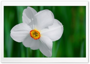White Daffodil HD Wide Wallpaper for Widescreen