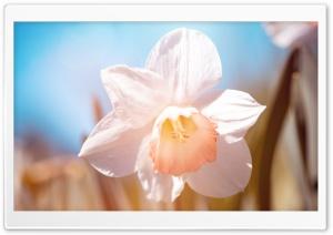 White Daffodil Flower Macro Ultra HD Wallpaper for 4K UHD Widescreen desktop, tablet & smartphone