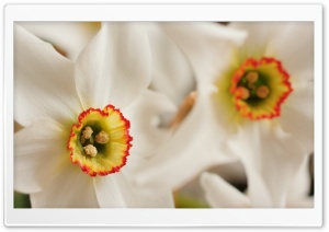 White Daffodil Macro HD Wide Wallpaper for Widescreen