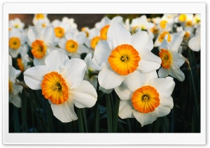 White Daffodils HD Wide Wallpaper for Widescreen