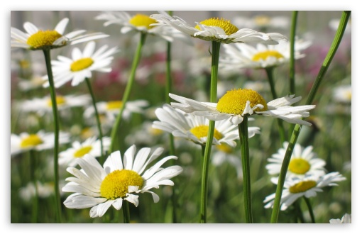 White Daisies UltraHD Wallpaper for Wide 16:10 5:3 Widescreen WHXGA WQXGA WUXGA WXGA WGA ; 8K UHD TV 16:9 Ultra High Definition 2160p 1440p 1080p 900p 720p ; Standard 4:3 5:4 3:2 Fullscreen UXGA XGA SVGA QSXGA SXGA DVGA HVGA HQVGA ( Apple PowerBook G4 iPhone 4 3G 3GS iPod Touch ) ; Tablet 1:1 ; iPad 1/2/Mini ; Mobile 4:3 5:3 3:2 16:9 5:4 - UXGA XGA SVGA WGA DVGA HVGA HQVGA ( Apple PowerBook G4 iPhone 4 3G 3GS iPod Touch ) 2160p 1440p 1080p 900p 720p QSXGA SXGA ;