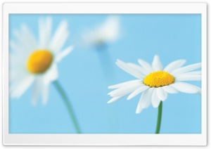 White Daisies HD Wide Wallpaper for 4K UHD Widescreen desktop & smartphone