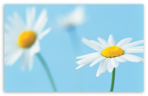 White Daisies HD wallpaper for Wide 16:10 5:3 Widescreen WHXGA WQXGA WUXGA WXGA WGA ; HD 16:9 High Definition WQHD QWXGA 1080p 900p 720p QHD nHD ; Standard 4:3 5:4 3:2 Fullscreen UXGA XGA SVGA QSXGA SXGA DVGA HVGA HQVGA devices ( Apple PowerBook G4 iPhone 4 3G 3GS iPod Touch ) ; Tablet 1:1 ; iPad 1/2/Mini ; Mobile 4:3 5:3 3:2 16:9 5:4 - UXGA XGA SVGA WGA DVGA HVGA HQVGA devices ( Apple PowerBook G4 iPhone 4 3G 3GS iPod Touch ) WQHD QWXGA 1080p 900p 720p QHD nHD QSXGA SXGA ;