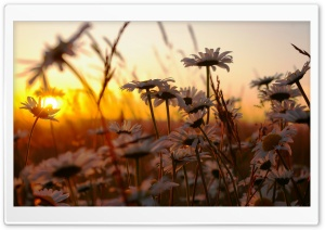 White Daisies Filed HD Wide Wallpaper for Widescreen