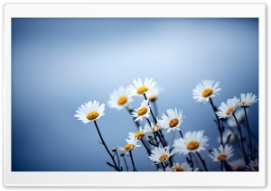White Daisies Flowers HD Wide Wallpaper for Widescreen