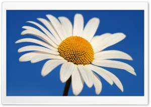 White Daisy Against A Blue Sky HD Wide Wallpaper for Widescreen