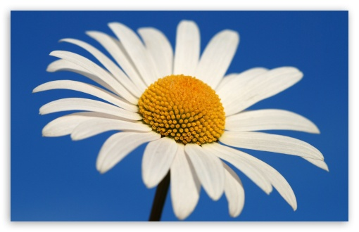 White Daisy Against A Blue Sky HD wallpaper for Wide 16:10 5:3 Widescreen WHXGA WQXGA WUXGA WXGA WGA ; HD 16:9 High Definition WQHD QWXGA 1080p 900p 720p QHD nHD ; Standard 4:3 5:4 3:2 Fullscreen UXGA XGA SVGA QSXGA SXGA DVGA HVGA HQVGA devices ( Apple PowerBook G4 iPhone 4 3G 3GS iPod Touch ) ; iPad 1/2/Mini ; Mobile 4:3 5:3 3:2 16:9 5:4 - UXGA XGA SVGA WGA DVGA HVGA HQVGA devices ( Apple PowerBook G4 iPhone 4 3G 3GS iPod Touch ) WQHD QWXGA 1080p 900p 720p QHD nHD QSXGA SXGA ;