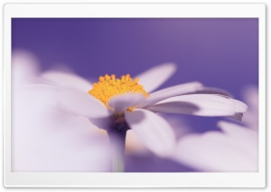 White Daisy Flower, Purple Background HD Wide Wallpaper for Widescreen