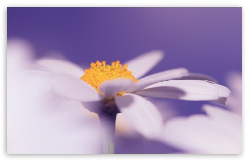 White Daisy Flower, Purple Background ❤ 4K UHD Wallpaper for Wide 16:10 5:3 Widescreen WHXGA WQXGA WUXGA WXGA WGA ; UltraWide 21:9 ; 4K UHD 16:9 Ultra High Definition 2160p 1440p 1080p 900p 720p ; Standard 4:3 5:4 3:2 Fullscreen UXGA XGA SVGA QSXGA SXGA DVGA HVGA HQVGA ( Apple PowerBook G4 iPhone 4 3G 3GS iPod Touch ) ; Smartphone 16:9 3:2 5:3 2160p 1440p 1080p 900p 720p DVGA HVGA HQVGA ( Apple PowerBook G4 iPhone 4 3G 3GS iPod Touch ) WGA ; Tablet 1:1 ; iPad 1/2/Mini ; Mobile 4:3 5:3 3:2 16:9 5:4 - UXGA XGA SVGA WGA DVGA HVGA HQVGA ( Apple PowerBook G4 iPhone 4 3G 3GS iPod Touch ) 2160p 1440p 1080p 900p 720p QSXGA SXGA ; Dual 16:10 5:3 16:9 4:3 5:4 3:2 WHXGA WQXGA WUXGA WXGA WGA 2160p 1440p 1080p 900p 720p UXGA XGA SVGA QSXGA SXGA DVGA HVGA HQVGA ( Apple PowerBook G4 iPhone 4 3G 3GS iPod Touch ) ;