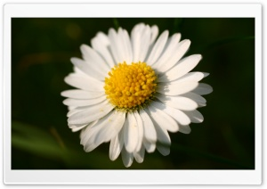 White Daisy Macro HD Wide Wallpaper for Widescreen