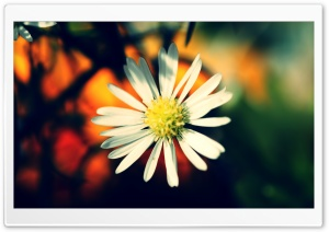 White Daisy Petals HD Wide Wallpaper for Widescreen