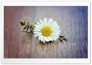 White Daisy Petals Macro HD Wide Wallpaper for Widescreen