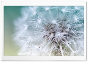 White Dandelion HD Wide Wallpaper for Widescreen