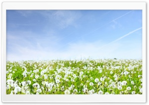 White Dandelions Field HD Wide Wallpaper for Widescreen