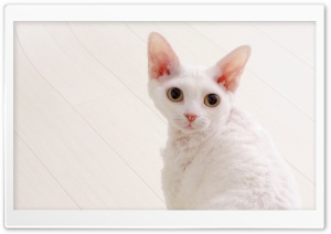 White Devon Rex HD Wide Wallpaper for Widescreen