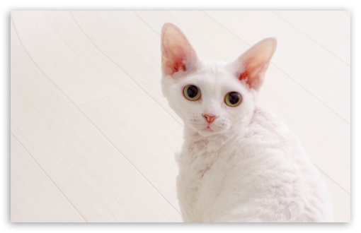 White Devon Rex HD wallpaper for Standard 4:3 5:4 Fullscreen UXGA XGA SVGA QSXGA SXGA ; Wide 16:10 5:3 Widescreen WHXGA WQXGA WUXGA WXGA WGA ; HD 16:9 High Definition WQHD QWXGA 1080p 900p 720p QHD nHD ; Other 3:2 DVGA HVGA HQVGA devices ( Apple PowerBook G4 iPhone 4 3G 3GS iPod Touch ) ; Mobile VGA WVGA iPhone iPad PSP Phone - VGA QVGA Smartphone ( PocketPC GPS iPod Zune BlackBerry HTC Samsung LG Nokia Eten Asus ) WVGA WQVGA Smartphone ( HTC Samsung Sony Ericsson LG Vertu MIO ) HVGA Smartphone ( Apple iPhone iPod BlackBerry HTC Samsung Nokia ) Sony PSP Zune HD Zen ; Tablet 2 Android 3 DVGA HVGA HQVGA devices ( Apple PowerBook G4 iPhone 4 3G 3GS iPod Touch ) ;