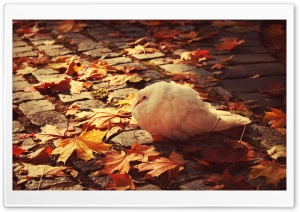 White Dove Autumn HD Wide Wallpaper for 4K UHD Widescreen desktop & smartphone