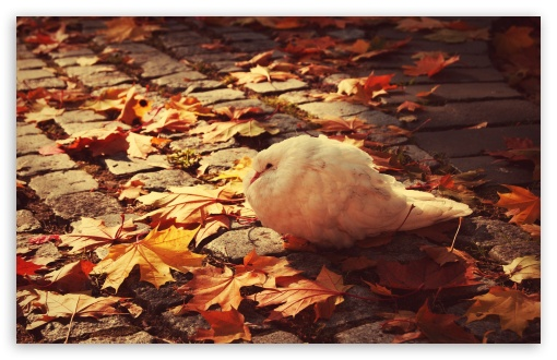 White Dove Autumn HD wallpaper for Wide 16:10 5:3 Widescreen WHXGA WQXGA WUXGA WXGA WGA ; HD 16:9 High Definition WQHD QWXGA 1080p 900p 720p QHD nHD ; Standard 4:3 5:4 3:2 Fullscreen UXGA XGA SVGA QSXGA SXGA DVGA HVGA HQVGA devices ( Apple PowerBook G4 iPhone 4 3G 3GS iPod Touch ) ; Tablet 1:1 ; iPad 1/2/Mini ; Mobile 4:3 5:3 3:2 16:9 5:4 - UXGA XGA SVGA WGA DVGA HVGA HQVGA devices ( Apple PowerBook G4 iPhone 4 3G 3GS iPod Touch ) WQHD QWXGA 1080p 900p 720p QHD nHD QSXGA SXGA ;