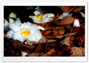 White Fallen Flowers HD Wide Wallpaper for Widescreen