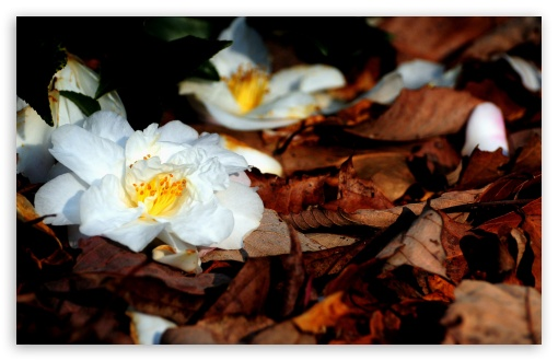 White Fallen Flowers ❤ 4K UHD Wallpaper for Wide 16:10 5:3 Widescreen WHXGA WQXGA WUXGA WXGA WGA ; 4K UHD 16:9 Ultra High Definition 2160p 1440p 1080p 900p 720p ; Standard 4:3 5:4 3:2 Fullscreen UXGA XGA SVGA QSXGA SXGA DVGA HVGA HQVGA ( Apple PowerBook G4 iPhone 4 3G 3GS iPod Touch ) ; Tablet 1:1 ; iPad 1/2/Mini ; Mobile 4:3 5:3 3:2 16:9 5:4 - UXGA XGA SVGA WGA DVGA HVGA HQVGA ( Apple PowerBook G4 iPhone 4 3G 3GS iPod Touch ) 2160p 1440p 1080p 900p 720p QSXGA SXGA ; Dual 16:10 5:3 16:9 4:3 5:4 WHXGA WQXGA WUXGA WXGA WGA 2160p 1440p 1080p 900p 720p UXGA XGA SVGA QSXGA SXGA ;