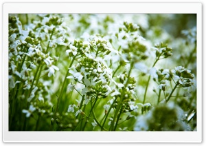 White Field Flowers HD Wide Wallpaper for Widescreen