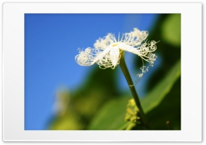 White Flower Ultra HD Wallpaper for 4K UHD Widescreen desktop, tablet & smartphone