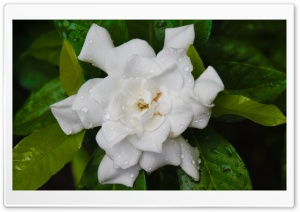 White Flower HD Wide Wallpaper for Widescreen