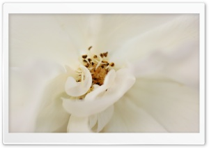 White Flower Close Up HD Wide Wallpaper for Widescreen