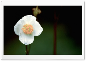 White Flower in the Dark HD Wide Wallpaper for Widescreen