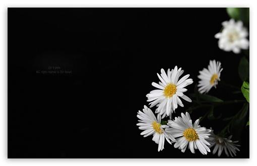 White Flowers 4k Hd Desktop Wallpaper For Dual Monitor
