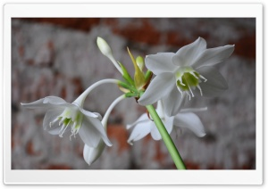 White Flowers HD Wide Wallpaper for Widescreen