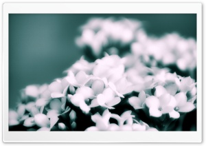 White Flowers Bokeh HD Wide Wallpaper for Widescreen