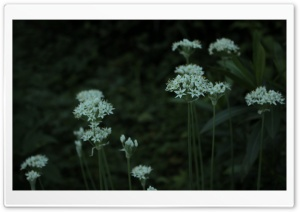 White Flowers, Garden HD Wide Wallpaper for Widescreen