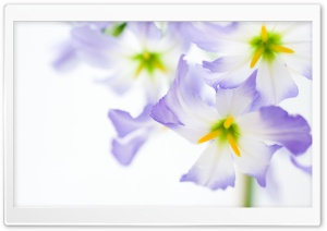 White Flowers Macro HD Wide Wallpaper for Widescreen