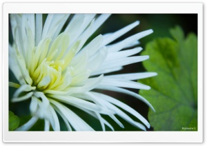 White Flowers with Thin Petals HD Wide Wallpaper for Widescreen