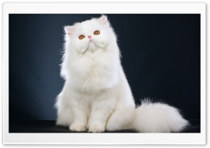 White Fluffy Cat Ultra HD Wallpaper for 4K UHD Widescreen desktop, tablet & smartphone