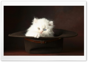 White Fluffy Kitten HD Wide Wallpaper for Widescreen