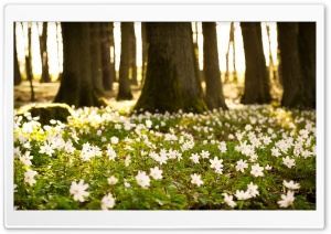 White Forest Flowers HD Wide Wallpaper for 4K UHD Widescreen desktop & smartphone